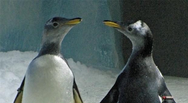 DXT_Penelope right_Missy left_ penguins_1_cr_Oceanworld